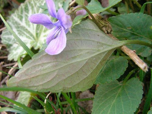 コスミレ 裏側は紫を帯びる