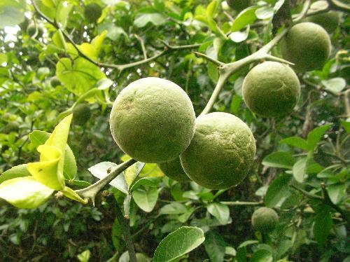 カラタチ 秋 黄色に熟す球形の実