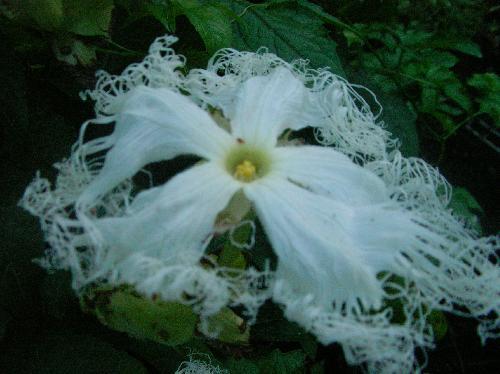オオカラスウリ 夏 花びらの先端が細くさけた白い雄花