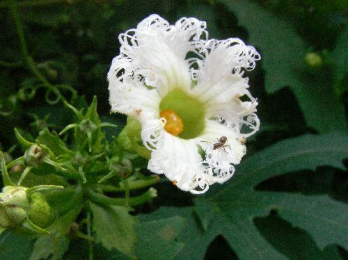 モミジカラスウリ 初夏 白い花
