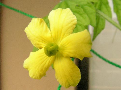 ニガウリ 夏 小さくて黄色い雌花