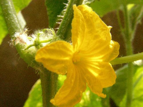 キュウリ 夏 黄色 雄花
