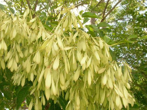 シマトネリコ 夏 翼のある白緑色の実を多数付ける花が咲いているよう
