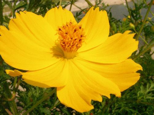 キバナコスモス 夏秋 黄色の花