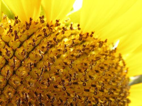 ヒマワリ 夏 小さな花が集まって大きな頭花をつくる