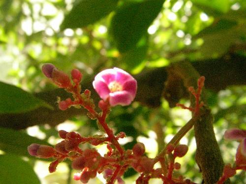 ゴレンシ 小さな赤紫色の花