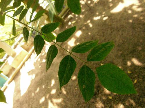 ゴレンシ 羽状複葉 小葉は卵形で全縁
