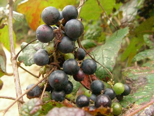 エビヅル 秋 球形の青黒い実