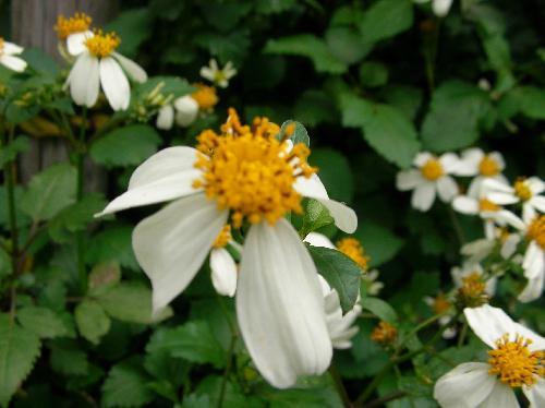 オオバナノセンダングサ 秋~初冬 白い花