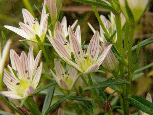 センブリ 秋 小さな白い花 合弁花 5深裂 雄蕊の付け根に細かい毛
