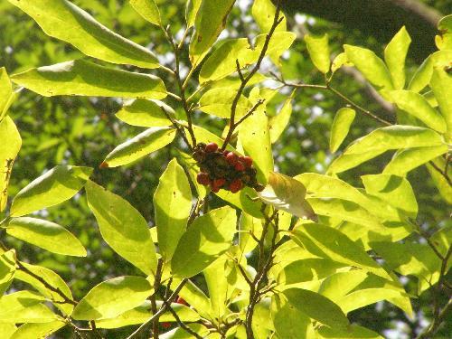 タムシバ 秋 赤桃 ゴツゴツしてコブシに似た実