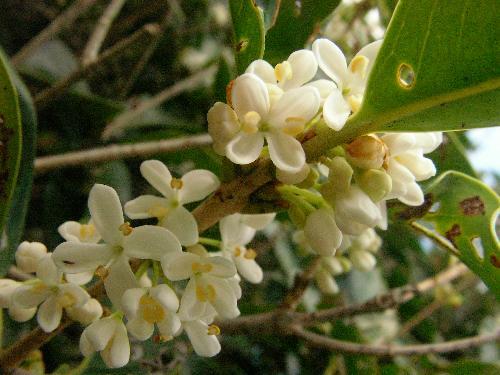 ヒイラギモクセイ 晩秋 小さな白い花 香りが強い