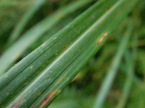 ススキ 細長 葉の側面には鋸の歯のような細かい鋸歯がありよく切れる
