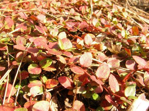 アリノトウグサ 秋 赤く紅葉する