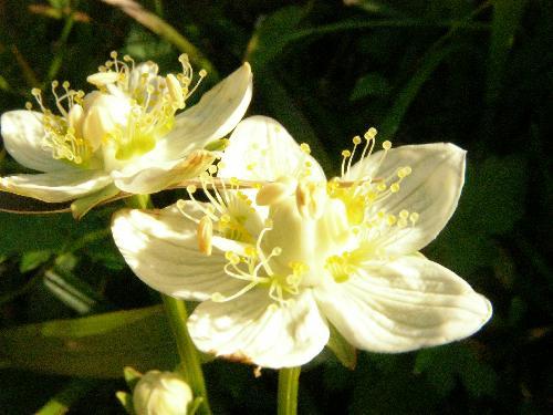 ウメバチソウ 秋 小さな白い花 5弁花