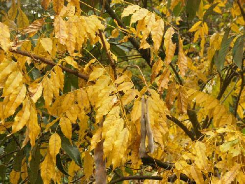 ヤマフジ 羽状複葉 全縁 秋 黄色に紅葉