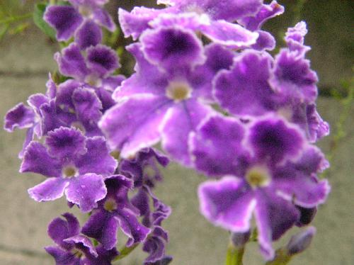 タイワンレンギョウ 夏 青紫色