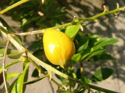 タイワンレンギョウ 晩夏~秋 小さい楕円形 橙