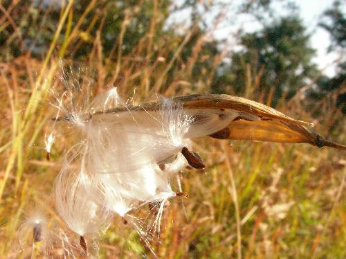 スズサイコ 茶褐色の種子 綿毛が付いている