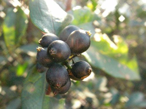キダチニンドウ 晩秋~初冬 楕円形の小さな黒紫の実 一箇所に数個付く