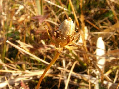 ウメバチソウ 初冬 楕円形 明るい茶褐色