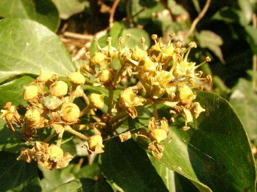 キヅタ 晩秋~初冬 黄緑色の小さな花