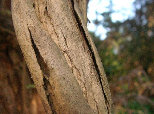 キダチニンドウ 黄褐色で樹皮が紙のようにはがれる