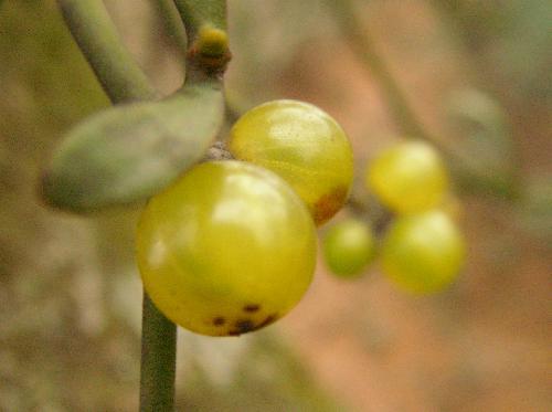 ヤドリギ 冬 黄緑色の球形の実