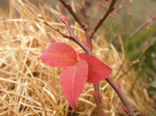 ウスノキ 紅葉