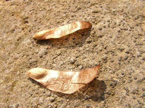 アカマツ 秋冬 茶褐色 翼がある小さな種