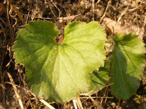 サイヨウシャジン 根生葉は丸いハート型 鋸歯