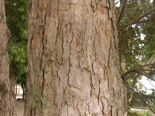 イチイガシ 老木では樹皮がささくれ立つ