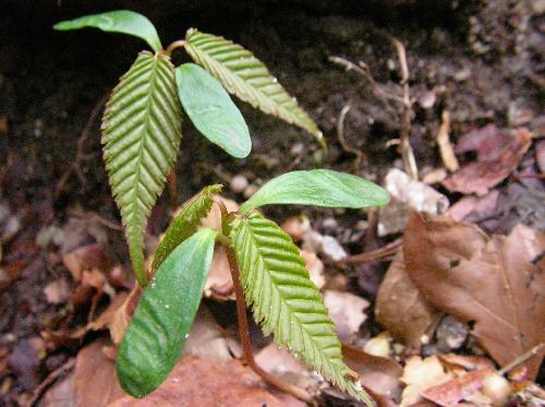 チドリノキ 子葉は細長い楕円形