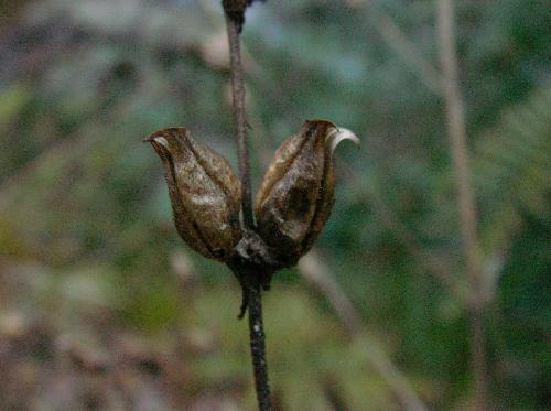 コシオガマ 秋冬葉脇に2つできる茶褐色の実