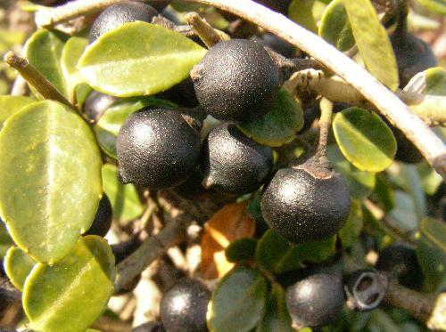 イヌツゲ 秋冬 黒紫の球形の実