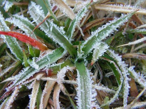 スズメノヤリ 秋に芽を出し厳しい冬を乗り切る 細長い葉には長い毛が生えてる