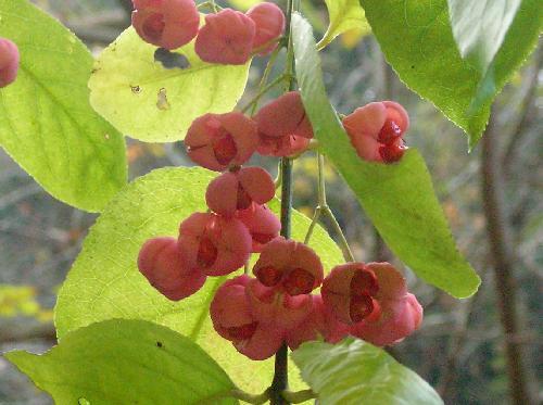 マユミ 実は冬に赤く熟し中から黒い種子が出てくる