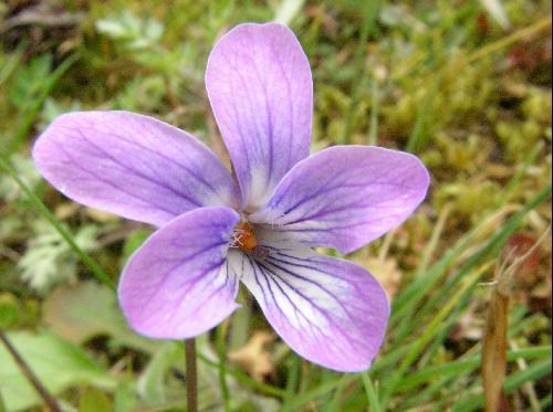 コスミレ 初春 薄紫 小さな花 舌弁と側弁に紫条 西日本では有毛な物が一般的