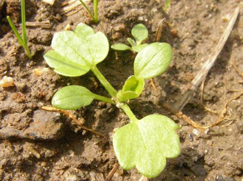 トゲミノキツネノボタン 冬春 卵形の子葉