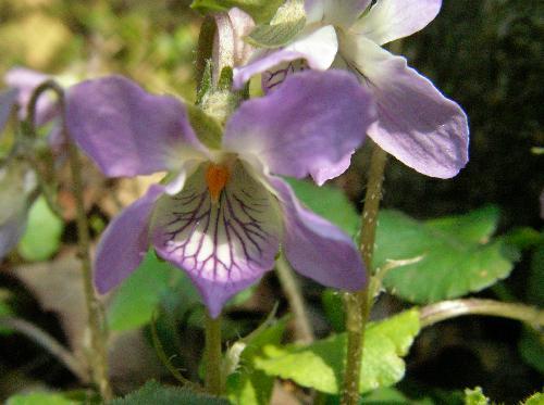 アオイスミレ 初春に淡紫色の花が咲く 距は太く上側に反り返る