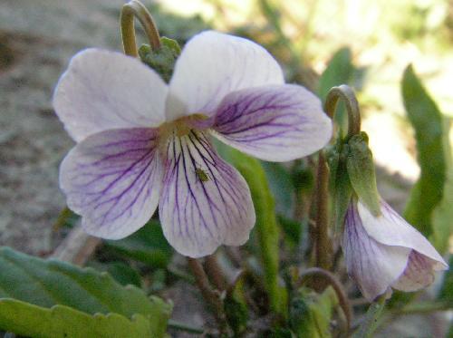 アリアケスミレ 春 白 薄紫色の筋 側弁には毛が生える
