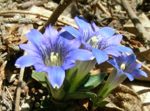 フデリンドウ 春 青紫
