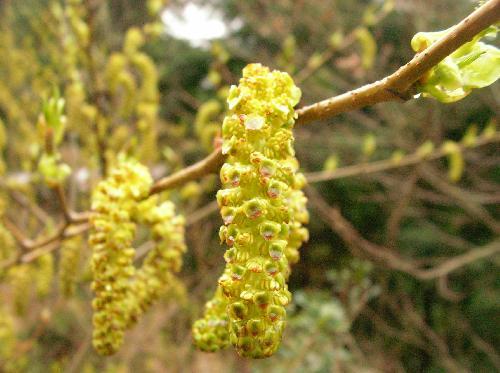 ヤシャブシ 初春 黄緑色の毛虫のような雄花