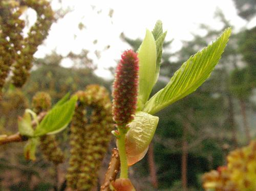 ヤシャブシ 初春 赤みを帯びた雌花 雄花は下に垂れるが雌花は上を向く