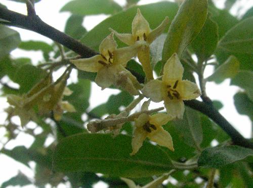 アキグミ 晩春 白褐色の小さな花