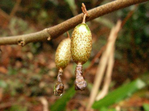 ウラギンツルグミ 春に赤く熟す楕円形の実