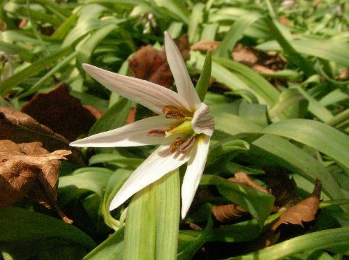 アマナ 早春 紫色の筋の入った白い花