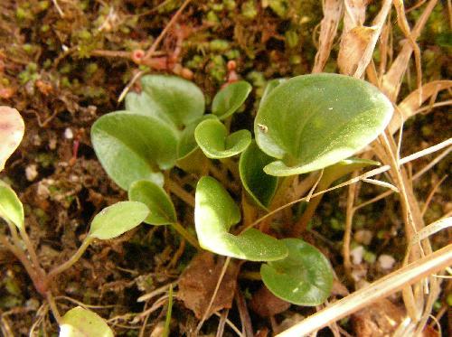 ウメバチソウ 長い柄のあるハート型の根生葉