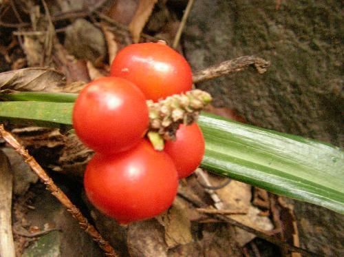 オモト 冬 球形で赤熟する