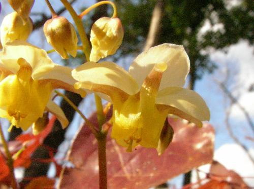 イカリソウ 春 黄色